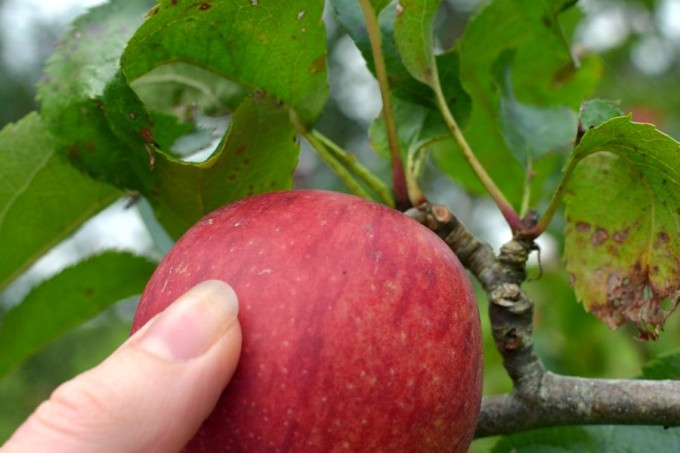 hand-picking-a-red-apple1