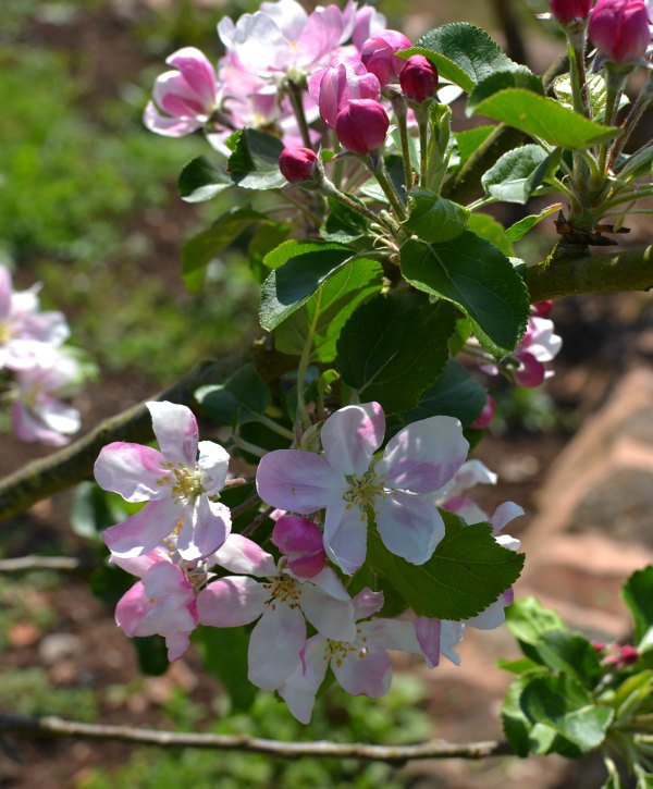 Apple blossom at The Ethicurean walled garden - Decorator's Notebook blog