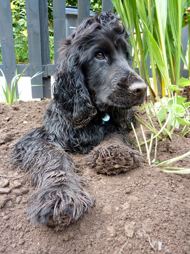 Kimba the hearing dog in helping in the garden