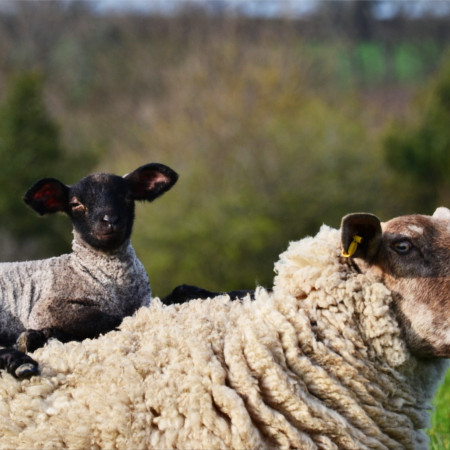 Lamb sitting on ewe sheep